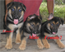 German shepherd puppies RUSH SALE