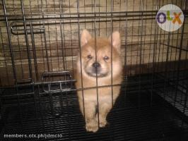 chow chow Pure Breed Puppy Cinamon